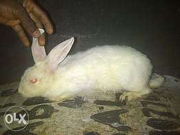 Rabbit available for sale