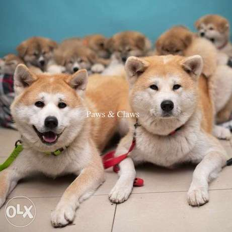 High-breed puppies of the show class of the legendary breed Akita