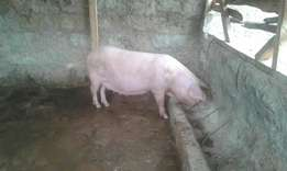 pig best breed 14 tits sow