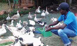Muscovy Ducks - Affordable Price