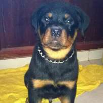 Male and female four months old Rottweiler puppies