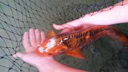 Veriaty of koi fish for sale