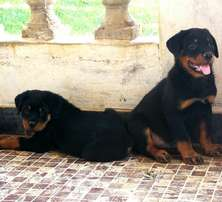 Class one Pure Rottwailer Available