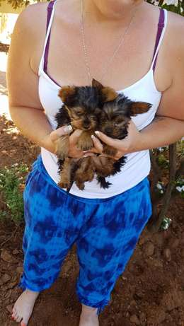 yorkshire terrier pocket puppies Helderberg - image 2