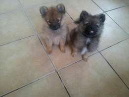 2x male toypom's for sale