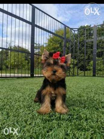 Imported Yorkshire terrier Male & Female 2 Months Full documents