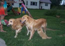 Golden Retriever puppies for available for all home