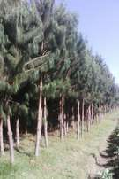 land on sale_Half an acre with 1600 pine trees located behind mugiko primary school