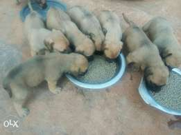 Giant breed puppies pure puppies