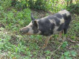 Pig for sell