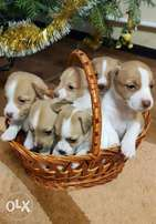 The best Beagle Puppies you can get from Ukraine