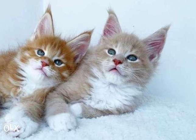 Imported maine coon kittens with all documents