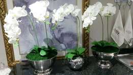 Orchids in wine coolers for sale or for hire