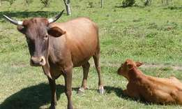 Cow with young bull calf