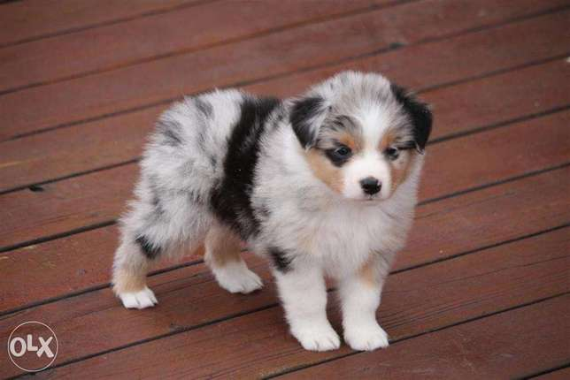 Australian Shepherd Puppies Male And Female