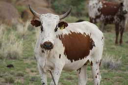a - pure Red and white Brahman
