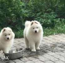 Imported snow white samoyed puppies from Ukraine with all documents