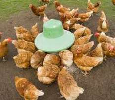 Rhode Island Point of laying hens and fertile eggs for sale