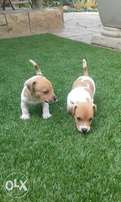 2× Beautiful male jack russel pups for sale urgent!(purebred)