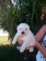 Sheppard puppies for sale