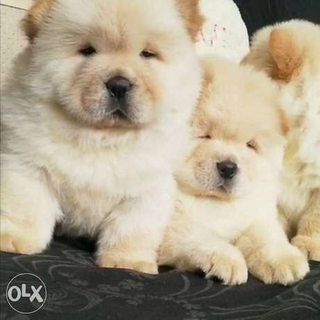 Arrived to Egypt, fci pedigree chowchow puppies