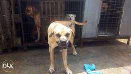 A year old boerboel for sell