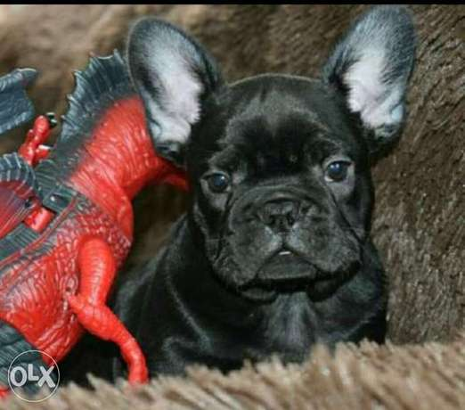 Reserve ur imported black French Bulldog puppy from Ukraine