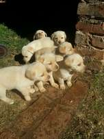 Im selling labrador puppys 6 week's old