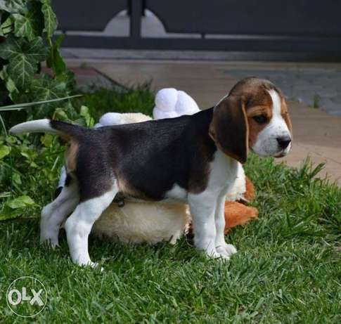Highest quality and best price imported beagle puppies بيجل
