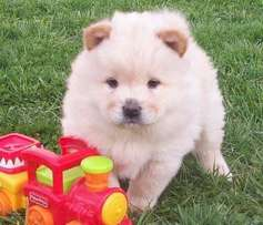 Cream Chow males
