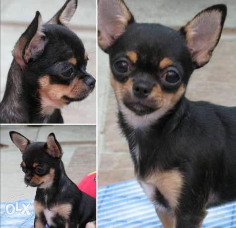 Get urself the best imported teacup chihuahua puppy with Pedigree