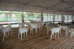 livestock for Sale, very cheap