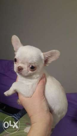 From Ukraine Chihuahua Puppies Mini breed Full Documents