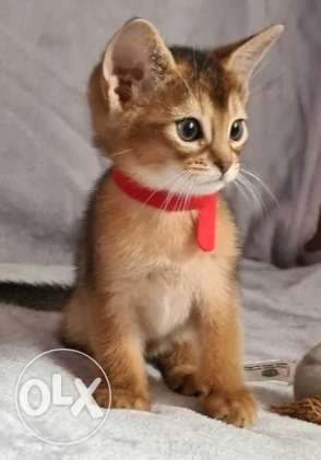 Availabile NOW TOP Imported Abyssian kittens