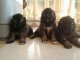 Giant Mountain Caucasian Dog Puppy / Puppies for sale Male and Female