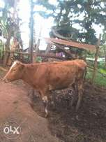 Arsey cow