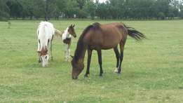 Bay Mare with Pinto colt