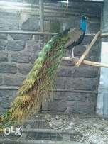 Fully matured male peacock