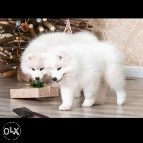 Imported samoyed puppies we import them from Europe