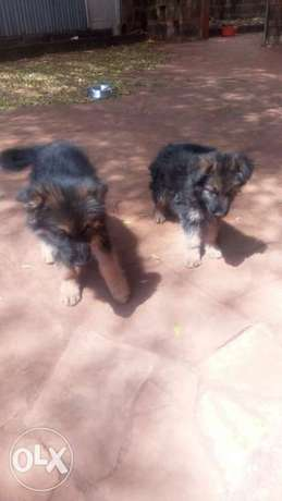 Pups for sale gsd Ngong - image 3