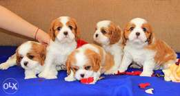 Imported cavalier King Charles puppies.. With all documents