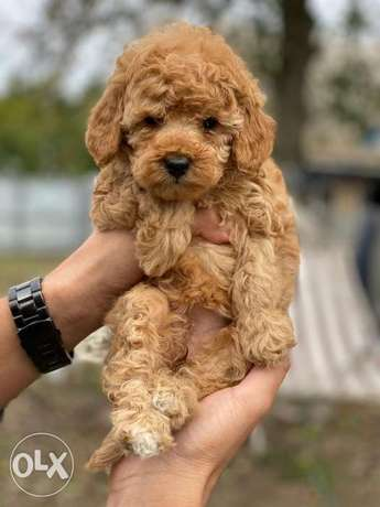 Imported toy poodle from the best kennels in Europe