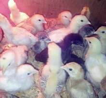 Offer! Offer! On improved kienyeji chick from 1week old