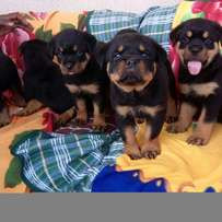 Superior Box Head German Rottweiler Puppy / Puppies Top Security Dog