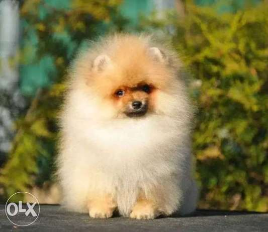Imported Pomeranian Top Quality Best price Full documents from Ukraine