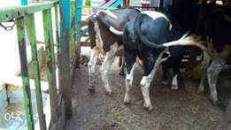 Pedigree incalf heifers for sale