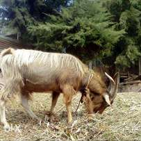 Dairy goats.