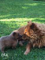 Chow Chow Puppies for sale !!!