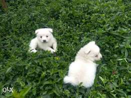 Must have cutest white puppies