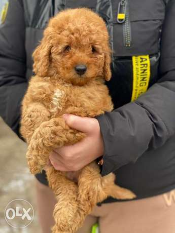 Now you can get your imported toy poodle immediately in egypt full doc